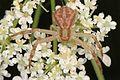 Day 306 - Northern Crab Spider - Mecaphesa asperata, Meadowood Farm SRMA, Mason Neck, Virginia.jpg