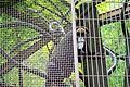 De Brazzo's monkey 01806.JPG