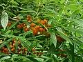 Debregeasia edulis fruit01.jpg