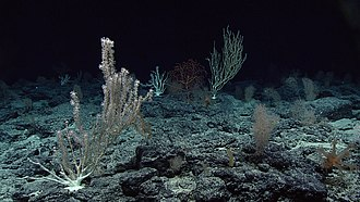 Deep sea corals at the Wagner Seamount. These corals are well adapted to deep water conditions where substrates are plentiful. Deep sea corals, Wagner Seamount.jpg