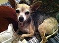Deer-Head Chihuahua.jpg