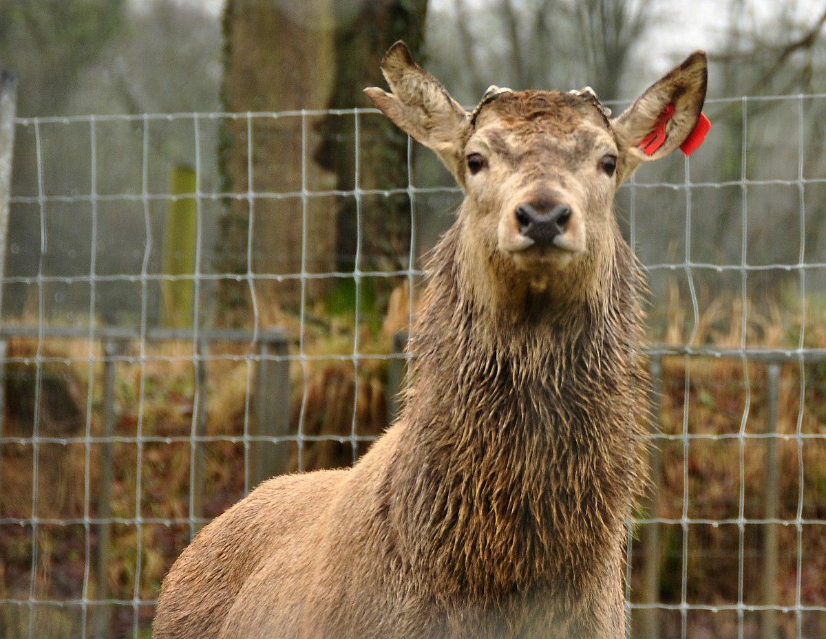 Deer management - Wikipedia