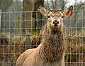 Deer at Upcott deer farm.jpg