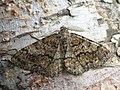 Deileptenia ribeata - Satin beauty - Дымчатая пяденица еловая (42885307915).jpg