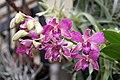 Dendrobium Diff 1zz.jpg