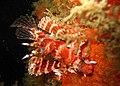 Dendrochirus brachypterus.jpg