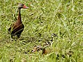 Dendrocygna autumnalis (with ducklings).jpg