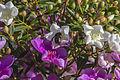 Detail of Carpenter Bee on Manacá da Serra Flower.jpg