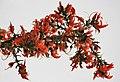 Dhak (Butea monosperma) flowers in Kolkata W IMG 4219.jpg