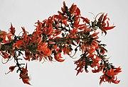 Dhak (Butea monosperma) flowers in Kolkata W IMG 4219