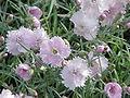 Dianthus gratianopolitanus0.jpg