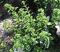 Dianthus japonicus (bud).jpg