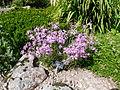 Dianthus superbus-Jardin d'altitude du Haut-Chitelet.JPG