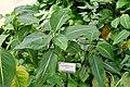 Dieffenbachia oerstedii - Orto botanico - Rome, Italy - DSC00156.jpg
