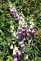 Digitalis purpurea (02).JPG