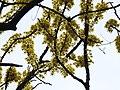 Dillenia pentagyna flowering by Dr. Raju Kasambe DSCN1362 (17).jpg