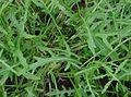 Diplotaxis tenuifolia IP0209094.jpg