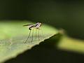 Dolchipodidae (Diptera), ♂ (8370733910).jpg