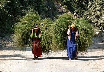 Donne indiane raccolgono fieno - Uttarakhand India.jpg