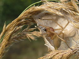Female Cheiracanthium punctorium in opened cocoon. Clutch of eggs in the Back of the cocoon.