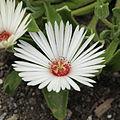 Dorotheanthus oculatus-IMG 4237.jpg