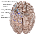 Dorsal-cortex front.png
