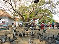Dove bird of peace @ Fort Kochi..JPG