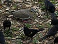 Dove surrounded by red winged blackbirds 2.jpg