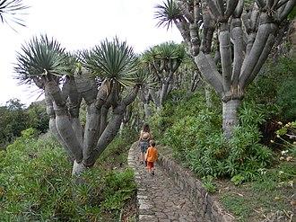 Dracaena (plant) - Image: Dracaena draco (L.) L