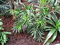 Dracaena reflexa - Berlin Botanical Garden - IMG 8716.JPG