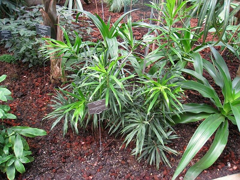 Dracaena verzorging  123kamerplanten