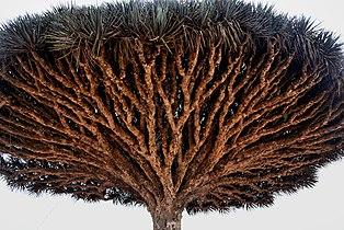 Dragon's Blood Tree, Socotra Island, Yemen (14495062030).jpg