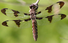 Dragonfly ran-579 Whitetail f.jpg