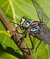 Dragronfly eats small bug 1 (7974370703).jpg