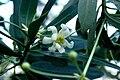 Drimys-winteri-flower.jpg