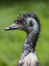Emu Head And Upper Neck