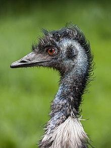 220px-Dromaius_novaehollandiae_%28head%29_Battersea_Park_Children%27s_Zoo.jpg
