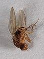 Drosophila funebris 3810.jpg