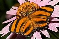 Dryadula-phaetusa-butterfly.jpg