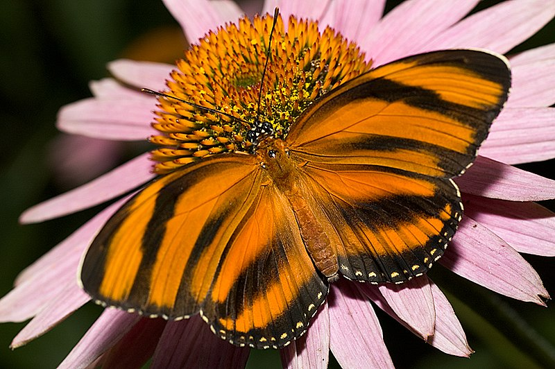 Bộ sưu tập cánh vẩy 4 - Page 46 800px-Dryadula-phaetusa-butterfly