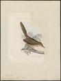 Drymoica typica - 1868 - Print - Iconographia Zoologica - Special Collections University of Amsterdam - UBA01 IZ16200051.tif