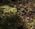 Dury zbiorowisko z Sphagnum (fuscum) 01.07.10 p.jpg