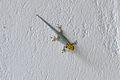 Dwarf Yellow Headed Gecko Zanzibar Ras Michamvi.JPG