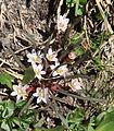Dwarf lewisia Lewisia pygmaea 9flowers.jpg