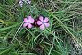 Dyanthus pontederae 01.jpg