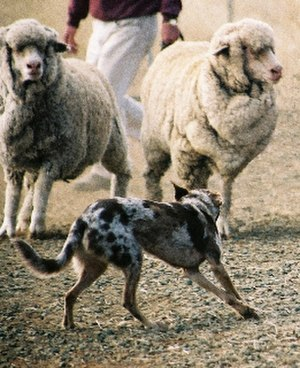 Herding dog - A Koolie working with sheep.