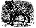 EB1911 Spotted Hyena.JPG