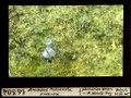 ETH-BIB-Anemone Pulsatilla Hasensee-Dia 247-14304.tif
