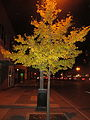 E Lansing Night Yellow Tree.jpg
