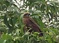 Eagle in wild.jpg
